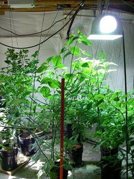 Domowa uprawa roślin wewnątrz pomieszczeń przyszłością zdrowej żywności.